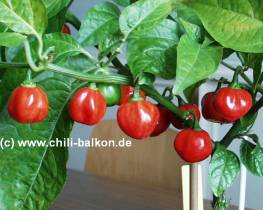 Grenada Seasoning - Capsicum chinense