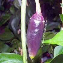 Jalapeno Purple - Capsicum annuum - unreife Frucht