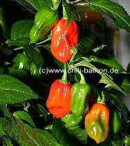 Habanero Red Savina